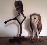 petit hibou sur branche et chouette effraie